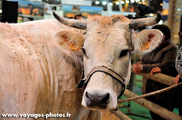 Vache laitiere