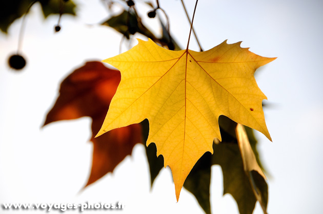 Photoblog : les feuilles d'érable