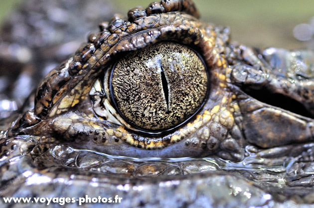 Oeil de Crocodile