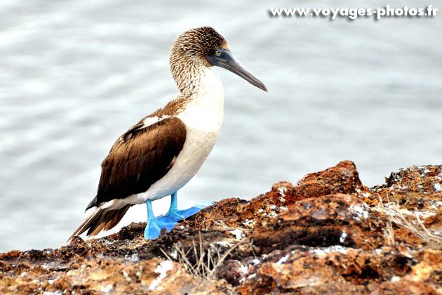 Oiseaux des iles Galapagos