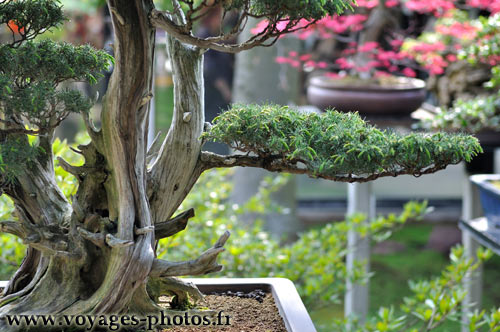 Pin accueil bonsai d exterieur azalee du japon osakasuki for Arbre bonsai exterieur