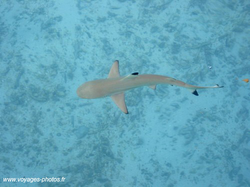 Requin - maldives
