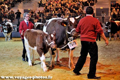 Concours de bovin salon de l 39 agriculture for Vache salon de l agriculture