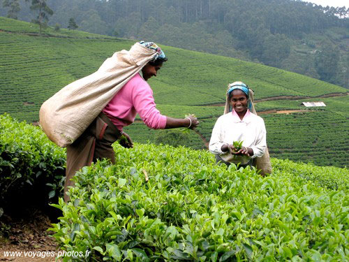 Tea Picker - sri-lanka