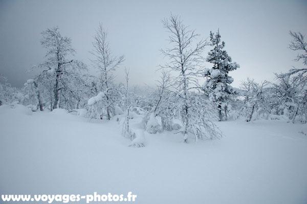 Arbres sous la neige en finlande